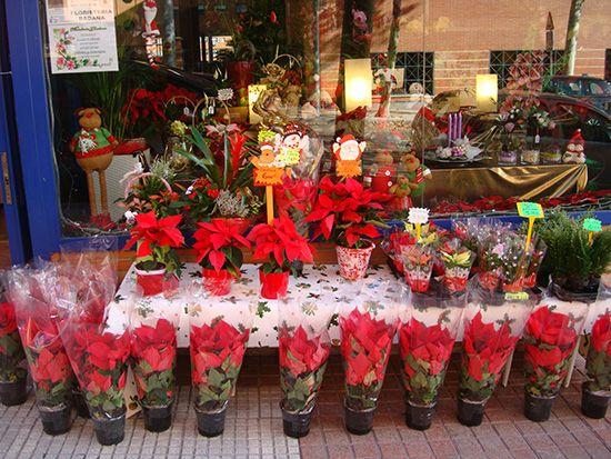 Floristería Badana en Las Retamas 30 tienen lo que más gusta en esta época, flores de Pascua naturales