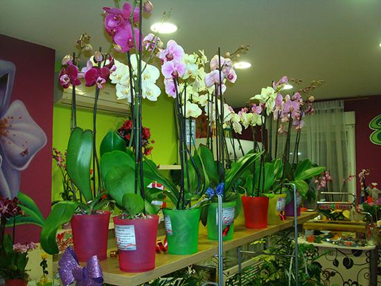 Dos varas de Orquídeas españolas a 20 € con macetero incluido.