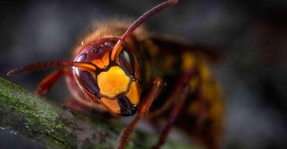 La avispa mandarina