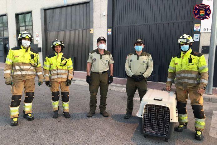 Los animales también son protegidos por las autoridades del municipio. Rescatan a un buitre que estaba atrapado en Alcorcón